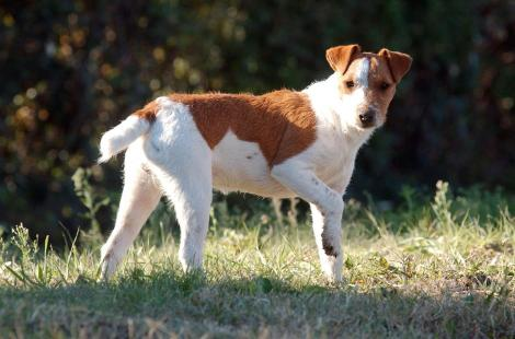 animal animaux jack russel nature poile herbe
